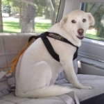 Dog Harness Safety Testing: Crash testing for dogs!