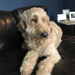Did Labradoodle's bad breath save his life?